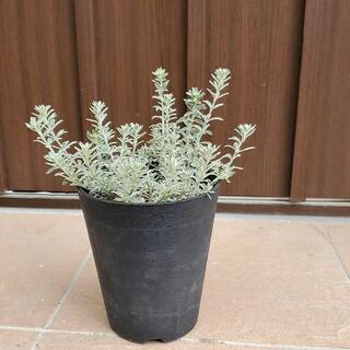 ウエストリンギア スモーキー 鉢植え 観葉植物 斑入り 苗 苗木(プランター)
