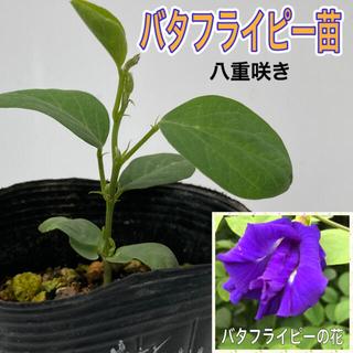 バタフライピー苗 1鉢(プランター)