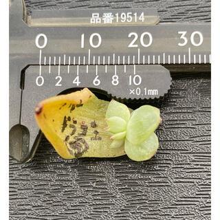 多肉植物 葉挿し苗 ブルードラゴン双頭(その他)