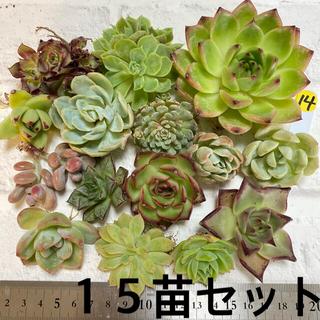 黄14 多肉植物 韓国苗 実生苗 寄せ植えセット(その他)