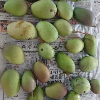 マンゴー 7kg 4. グリーン マンゴー 摘果(フルーツ)