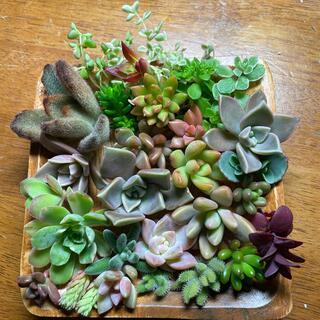 多肉植物 ちまちま寄せ植えセット ティディベア入っています(その他)