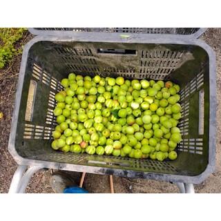L以上小粒南高梅 5kg 和歌山産 紀州南高梅(野菜)