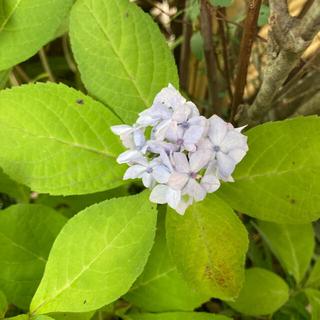 山紫陽花 さし穂(その他)