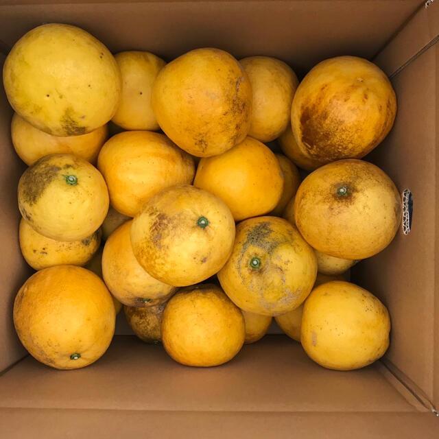 宇和ゴールド(河内晩柑)訳あり10キロ 食品/飲料/酒の食品(フルーツ)の商品写真