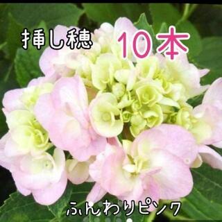 紫陽花ふんわりピンク 挿し穂 10本(その他)