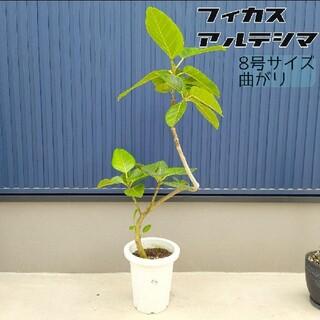 フィカス アルテシマ 8号サイズ 曲がり 観葉植物 アルテシーマ(その他)