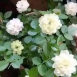 E(ᵔᴥᵔ)グリーンアイス ミニバラ 挿し穂苗 発根♡ホワイトガーデン♡(その他)