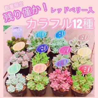 在庫僅か! ルポゼ 多肉植物 カラフル12種(1カット×12種)(その他)