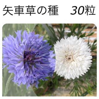 矢車草の種 30粒(プランター)