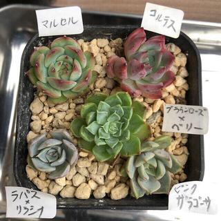 多肉植物❣️可愛い5個組❣️(その他)