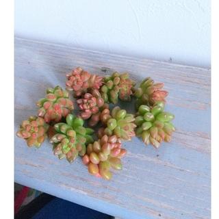 ホワイトクローンクロップ 10カット 多肉植物(その他)