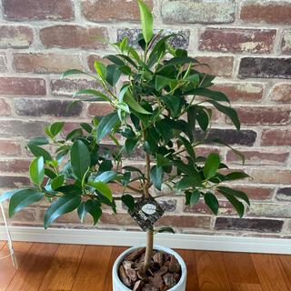 観葉植物 フランスゴムの木 フランスゴム 鉢受皿付(プランター)