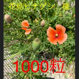 ナガミヒナゲシ 種 1000粒以上 お花種(その他)