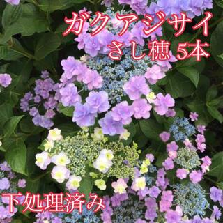 紫陽花(その他)