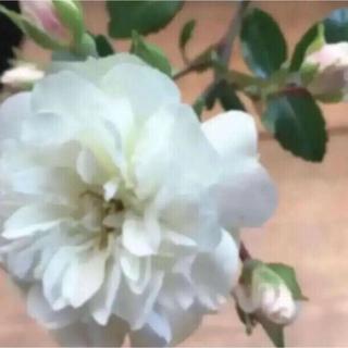 (ᵔᴥᵔ)グリーンアイス ミニバラ 発根♡アンティーク庭♡ホワイトガーデン(その他)