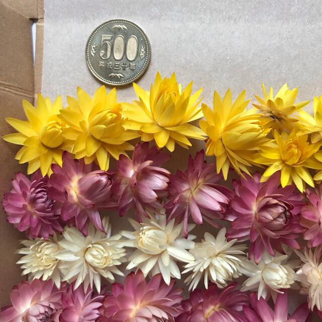 (7)貝細工 ヘリクリサム ドライフラワー 訳あり品 ハンドメイドのフラワー/ガーデン(ドライフラワー)の商品写真