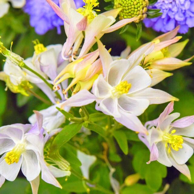 【満を持して登場!】西洋オダマキ☆アクイレギア 種 30粒! ハンドメイドのフラワー/ガーデン(プランター)の商品写真