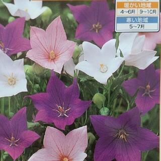 花の種      桔梗ミックス+おまけ(その他)