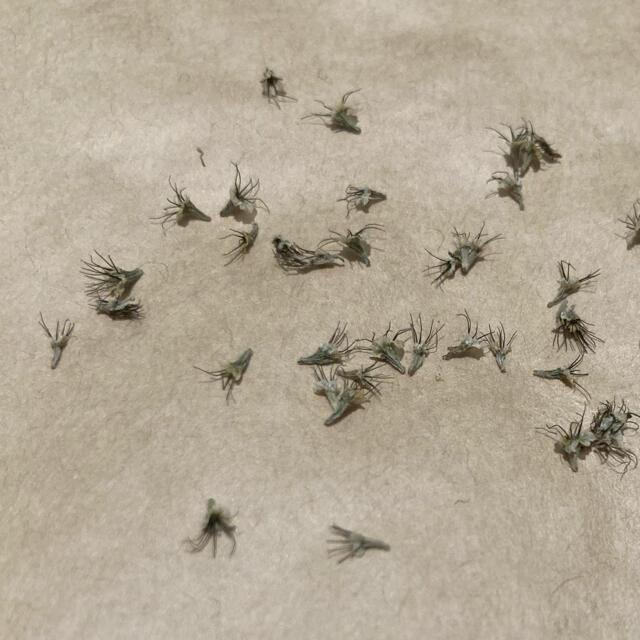 スカビオサ セイヨウマツムシソウ パープル  種30粒以上 ハンドメイドのフラワー/ガーデン(その他)の商品写真