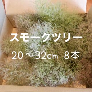 スモークツリー グリーンボール 8本 フレッシュ(その他)