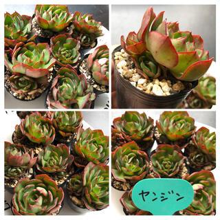 【B】🔴1〜10 ポット苗発送🌵韓国多肉植物🌵バイキング(その他)