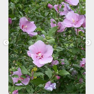 6 ムクゲ 花苗 苗木 抜き苗 23㌢ 1本 ピンク紫(その他)