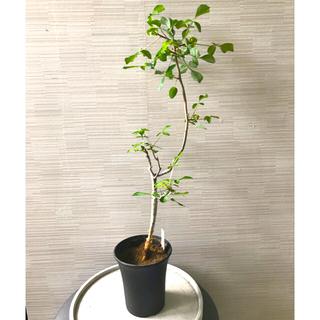 コミフォラ  カンペストリス 塊根植物 コーデックス 灌木(プランター)