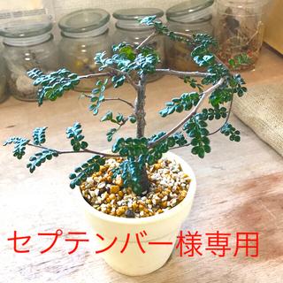 オペルクリカリア デカリー 実生株 針金かけ 塊根植物 コーデックス(プランター)