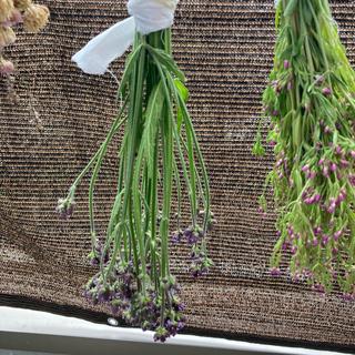 ダキバアレチハナガサ (抱葉荒地花笠) 小 6/5収穫 2021年(ドライフラワー)
