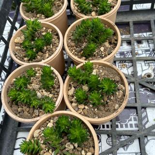 多肉植物 セダム グリーンペット(その他)