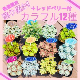 ルポゼ 多肉植物 カラフル12種(1カット×12種+レッドベリー1カット)(その他)