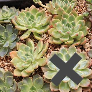 多肉植物 韓国苗 Pink Alex(その他)