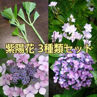 庭木紫陽花 3種類の挿し木用挿し穂(その他)