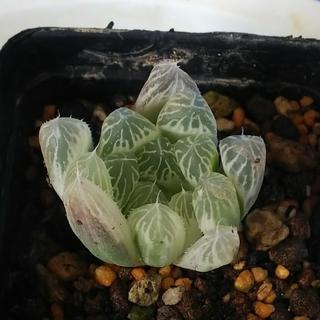 多肉植物・ピリフェラ錦(白琥珀斑)(その他)