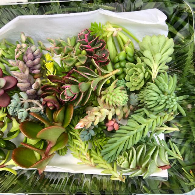 多肉植物 セダムカット苗 写真変更 ハンドメイドのフラワー/ガーデン(その他)の商品写真