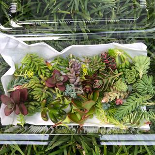 多肉植物 セダムカット苗 写真変更(その他)
