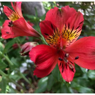 赤いアルストロメリアの球根 低草丈(その他)