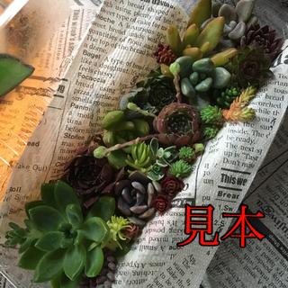 多肉植物 アソートパック  12種+ もう少し(その他)