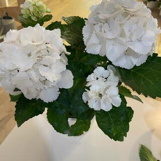 紫陽花3種(その他)