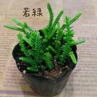多肉植物 クラッスラ【若緑】抜き苗(その他)