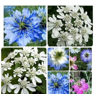 花の種 花種 オルラヤ ニゲラ(その他)