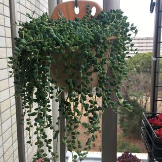 多肉植物のカット苗 グリーンネックレス(その他)