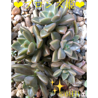 多肉植物❤︎ブロンズ姫❤︎抜き苗❤︎10頭🎶(その他)
