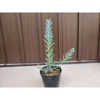アカシアブルーブッシュ ポット苗27 観葉植物 シンボルツリーに♪(プランター)