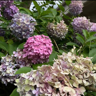 ★色の変化が美しい紫陽花 挿し穂3本★(その他)