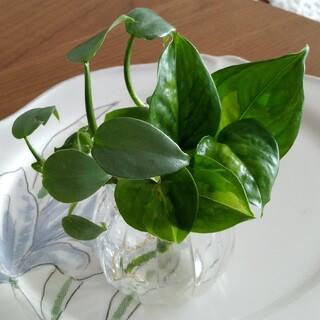 テーブルサイズ グローバルグリーン 苗 シルバーメタル 苗 セット(その他)
