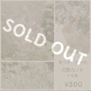 ネペタ『ヌーダ』カット苗×5本  ¥300(その他)