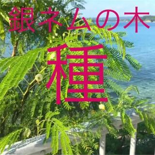 銀ネムの木 (銀合歓木)種30個(その他)
