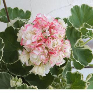ゼラニウム ホワイトリング花苗(その他)